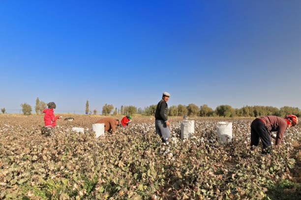 Uigurische Arbeiter bei der Baumwollernte in der Nähe der Stadt Qiemo-Cherchen. Qiemo/Kreis Xinjiang-China-0398 – Foto