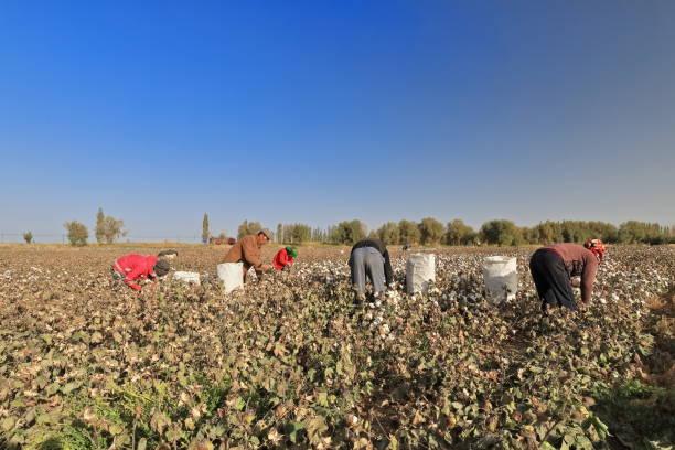 Uigurische Arbeiter bei der Baumwollernte in der Nähe der Stadt Qiemo-Cherchen. Qiemo/Kreis Xinjiang-China-0397 – Foto