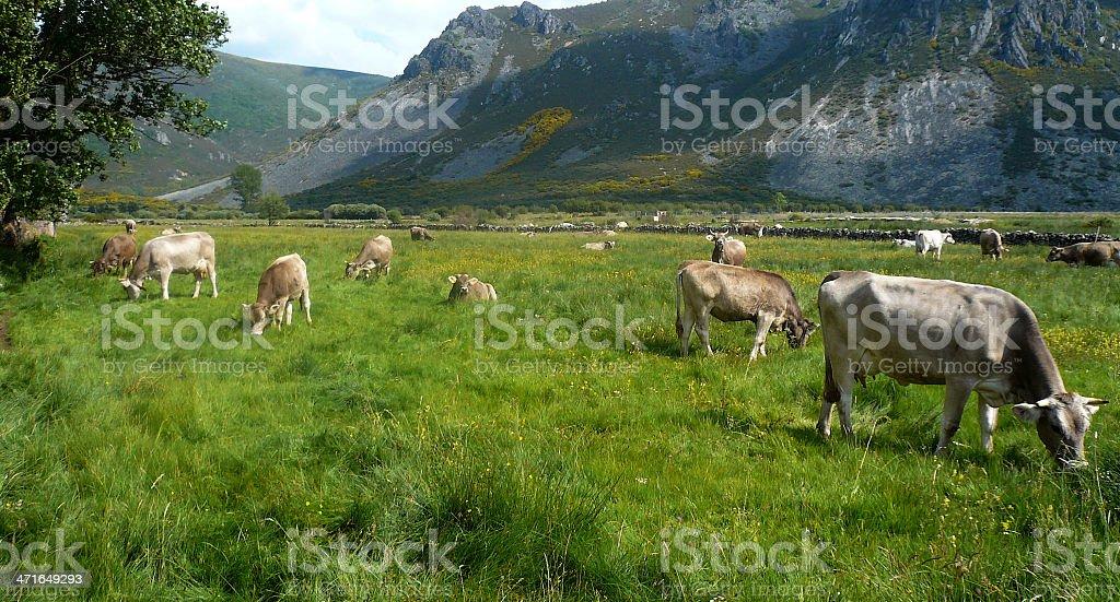 vacas / Cows stock photo