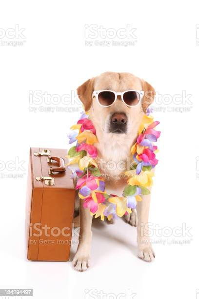 Vacation dog with sunglasses picture id184294497?b=1&k=6&m=184294497&s=612x612&h=adghpn0sj6bwi o8nkmwvpanmpjc5 d76dw8ojnaueg=