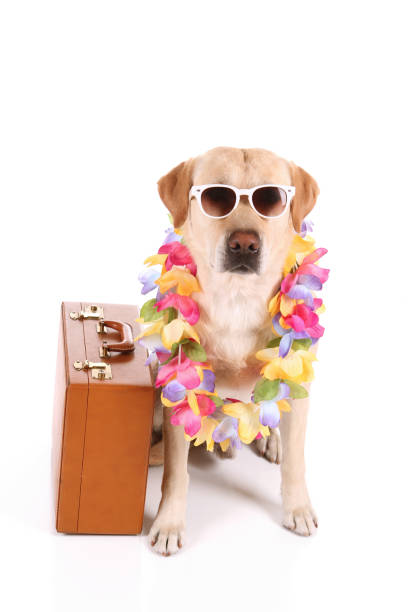 Vacation dog with sunglasses picture id184294497?b=1&k=6&m=184294497&s=612x612&w=0&h=chjcgza8cdpfhyli7eeawup72xxddivgwvpmt5ft1am=