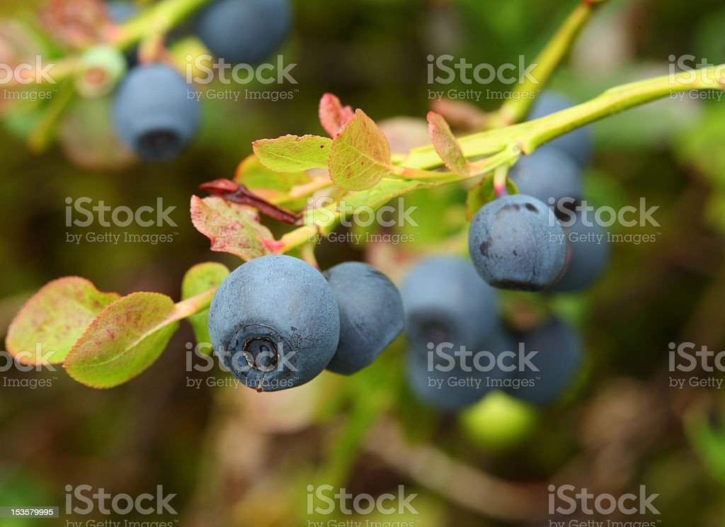 Vaccinium myrtillus (bilberry) royalty-free stock photo