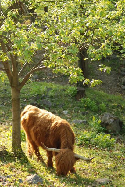 Vache highlandaise – Foto