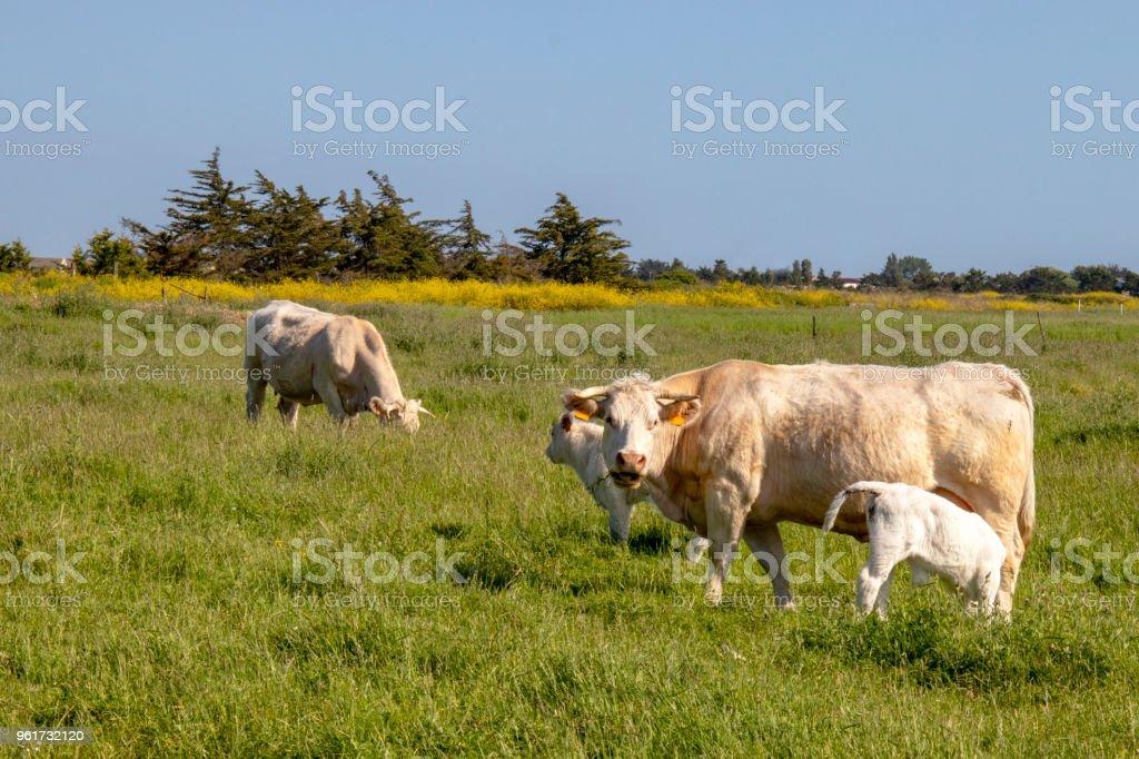 Vache nantaise et veaux en pâture stock photo