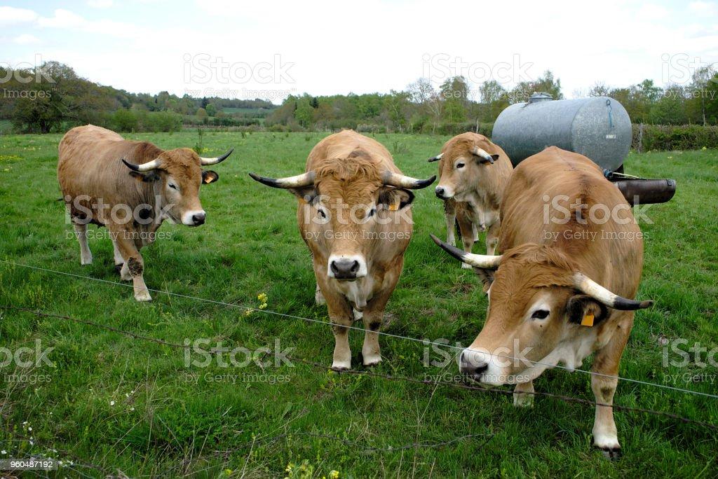 vaches de race Aubrac, dans leur pré en auvergne stock photo