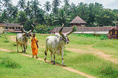 Kerala, India - August 2, 2017: A Vaishnava monk goes to harness huge bulls. Vaishnavas are doing missionary activities and traveling around India with the help of bulls and carts