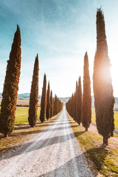 val d'orcia country road with cypress - cypress tree stock photos and pictures