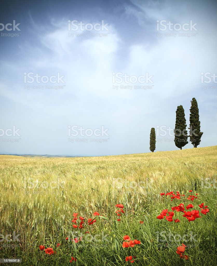 Val d'Orcia field,poppies and cypresses with moody sky, Tuscany royalty-free stock photo