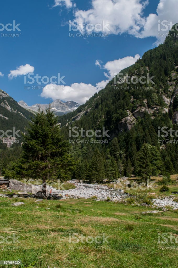 Val Masino: a giant fir in the Mello Valley, Val di Mello, a green valley surrounded by granite mountains and forest trees stock photo