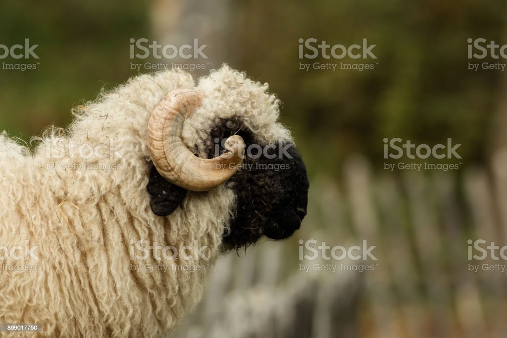 Valais black nose with soft bokeh stock photo