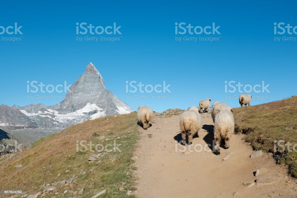 Valais Blacknose sheep walking in the Alps stock photo