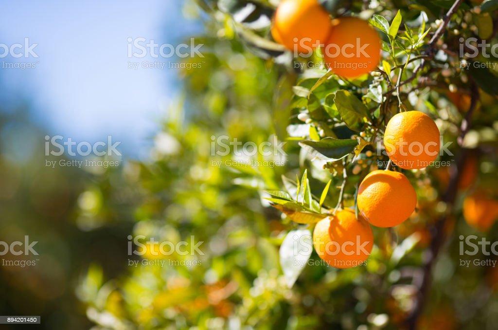 Valencia orange trees - foto stock