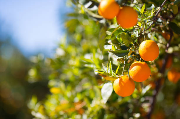 Valencia orange trees - foto stock