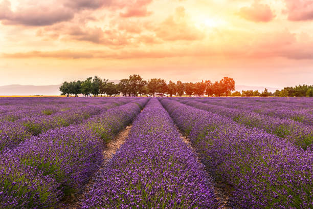 Valensole -lavender land, sunset,2 Valensole -lavender land, sunset,2 provence alpes cote d'azur stock pictures, royalty-free photos & images