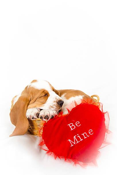 Valentine Basset hound stock photo