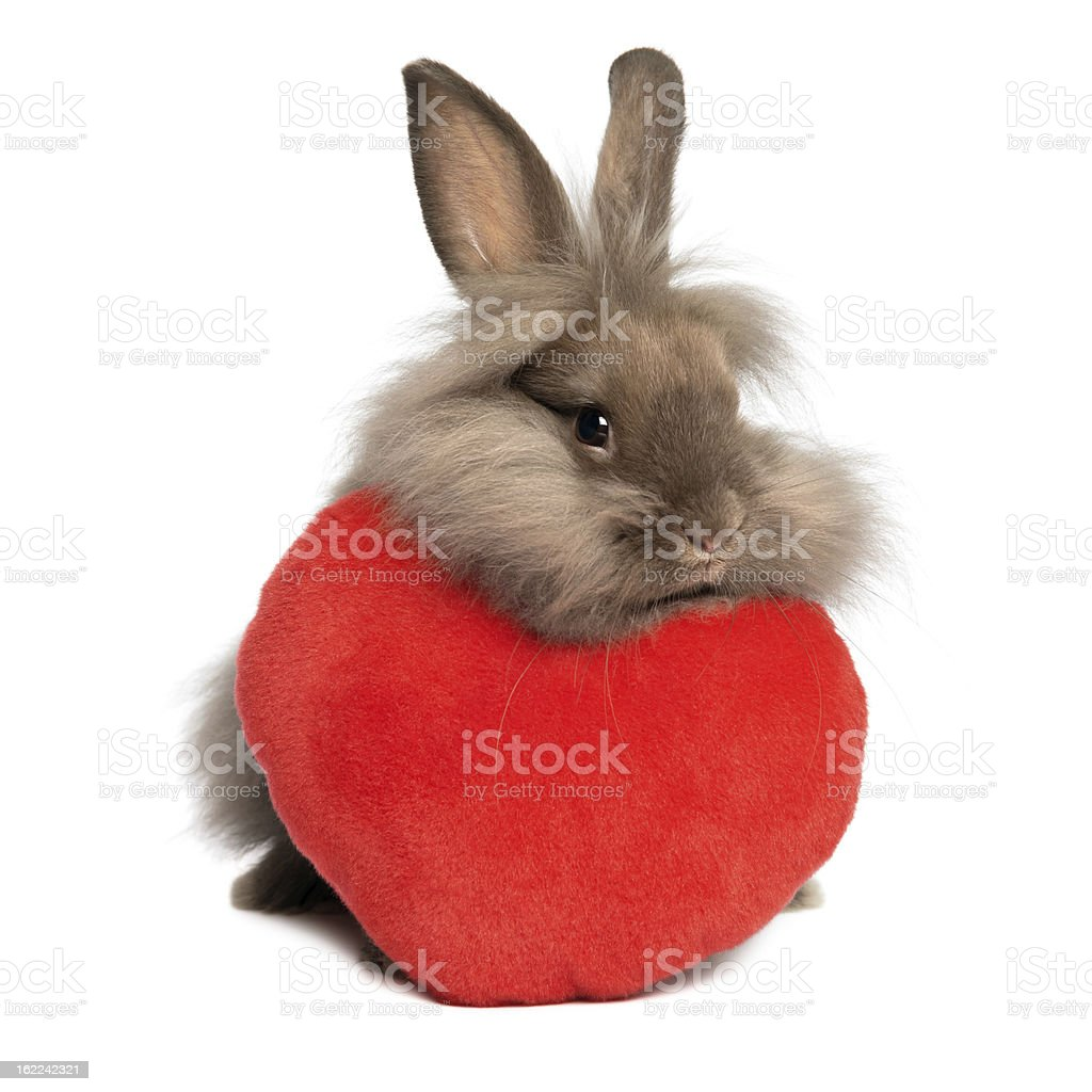 Valentine chocolate lionhead bunny rabbit with a red heart stock photo