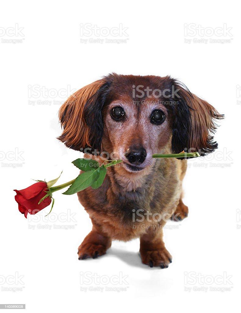 Valentine dachshund royalty-free stock photo