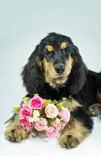 Valentinstag-Hund mit einem Strauß Rosa Rosen – Foto