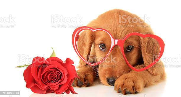 Valentine puppy picture id504386214?b=1&k=6&m=504386214&s=612x612&h=8cmlq9f0vbqmiwuzgwcqcr0a6cve4nos49wybawnk9s=