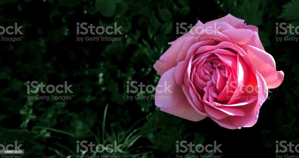 Valentine red rose on dark green background. royalty-free stock photo