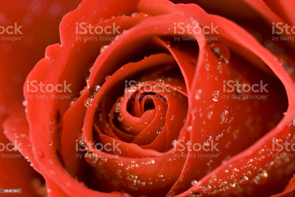 Valentine Red Rose royalty-free stock photo