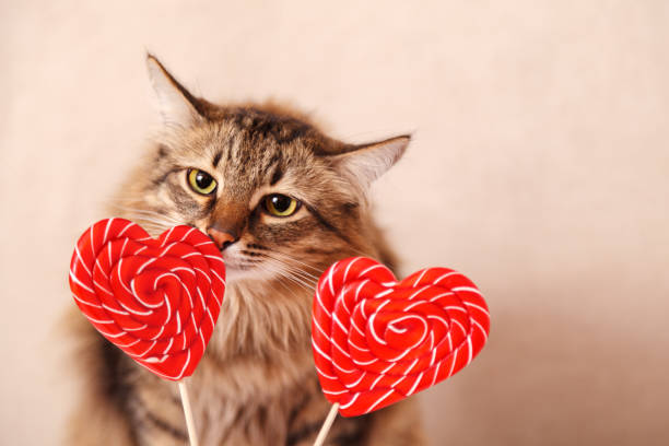 Valentine's day background. Beautiful fluffy cat sniffs a heart-shaped Lollipop on a beige background, close-up Valentine's day background. Beautiful fluffy cat sniffs a heart-shaped Lollipop on a beige background, close-up. Greeting card. kitten cute valentines day domestic cat stock pictures, royalty-free photos & images