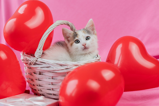 Valentine's day concept, a holiday for all lovers. A cute tricolor kitten lies in a wicker white basket next to heart-shaped balloons. Postcard, place for text