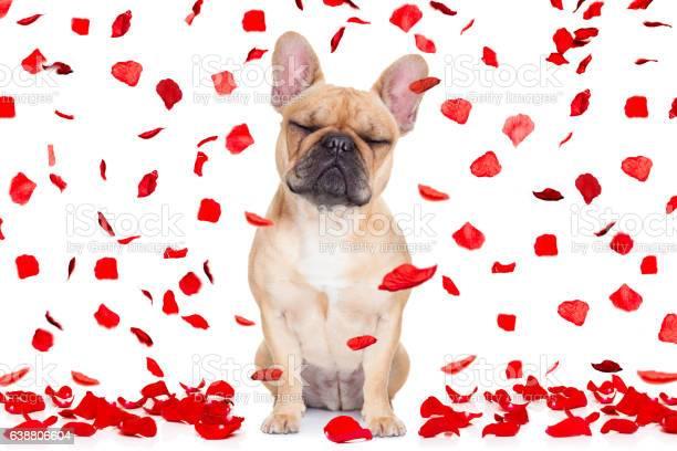 Valentines day dog crazy in love picture id638806604?b=1&k=6&m=638806604&s=612x612&h=x7d79rcku4gkgqouristi8skcv4eymcqjyb1 oik2b0=
