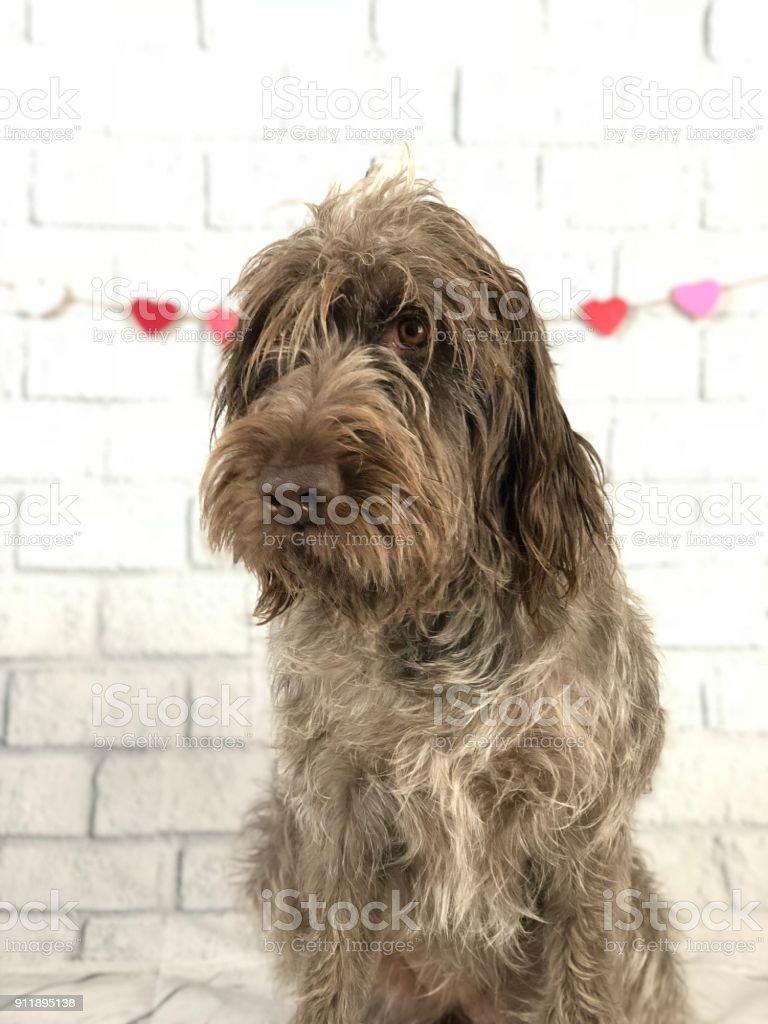 Valentine's Day dog stock photo