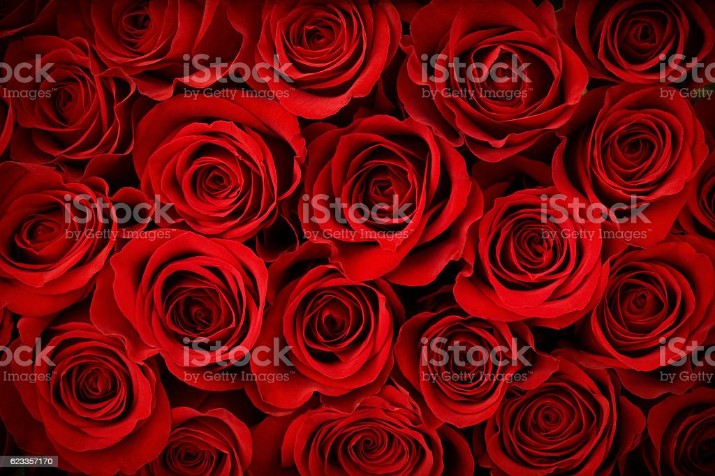 Valentine's Day Red Rose Background stock photo