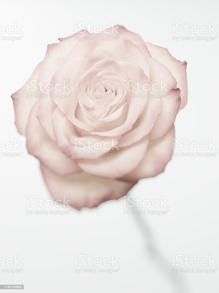 valentines day rose limited focus royalty-free stock photo