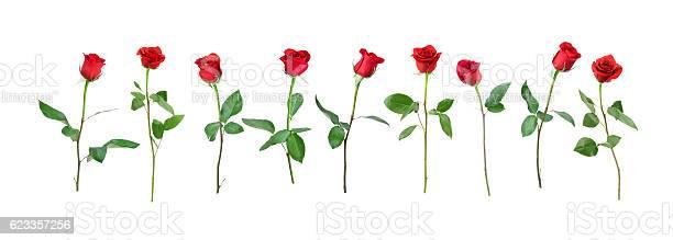 Valentines day single red rose isolated on white picture id623357256?b=1&k=6&m=623357256&s=612x612&h=xydc6jdpigdwvlxzvceyiscvoiyjm7jx2oyxjhhimpo=