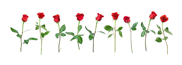 Valentines day single red rose isolated on white picture id623357256?b=1&k=6&m=623357256&s=612x612&w=0&h=310 c aodmeoxbmslgegi5gk5ifoqtve0qp2hfp2i y=