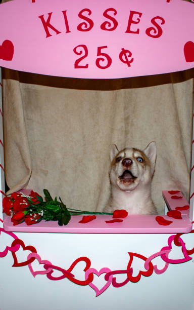 Valentines day theme kissing booth with a siberian husky behind the kissing booth. $0.25 per kiss from dog. Theme of valentines day and dog humour stock photo