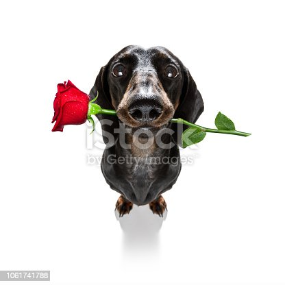 638484874 istock photo valentines dog in love 1061741788