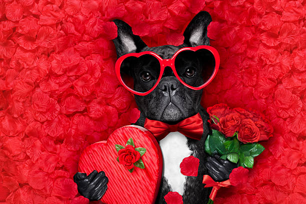 valentines dog in love valentines french bulldog dog in love holding a cupids arrow with mouth ,wearing sunglasses,lying on bed of red flower petals , with gift box and roses animal valentine stock pictures, royalty-free photos & images