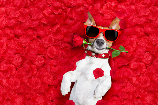 Jack russell dog lying in bed full of red  flower petals as background  , in love on valentines day, rose in mouth