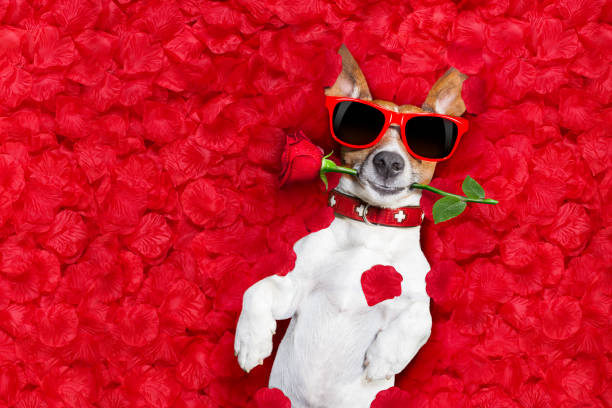valentines dog in love Jack russell dog lying in bed full of red  flower petals as background  , in love on valentines day, rose in mouth animal valentine stock pictures, royalty-free photos & images