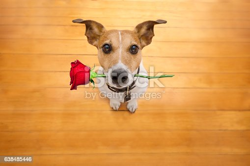 istock valentines dog in love with rose in mouth 638485446