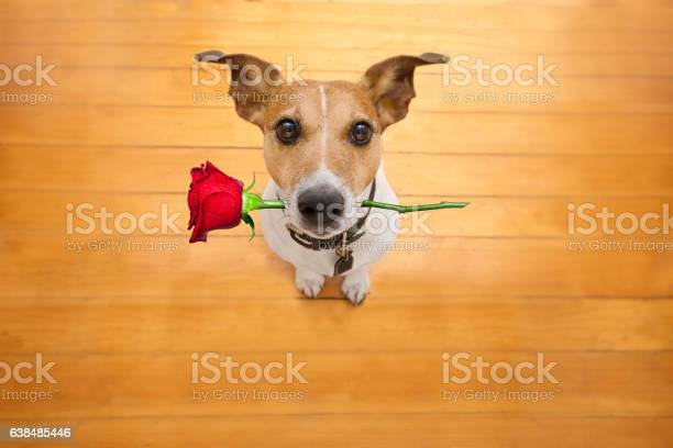 Valentines dog in love with rose in mouth picture id638485446?b=1&k=6&m=638485446&s=612x612&h=aunjjpzrvv7icyn54pluesyj4csaayool4as0fnt ow=