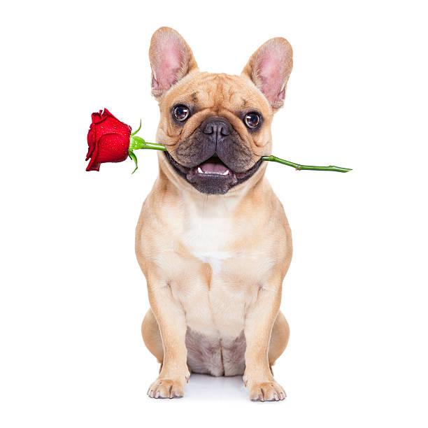 valentinstag-hund - coole liebessprüche stock-fotos und bilder