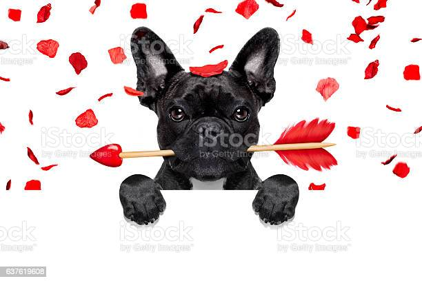 Valentines dog picture id637619608?b=1&k=6&m=637619608&s=612x612&h=bh  crmvsouoly4hjls3xw5v8a9ksutqjalcl9n pto=