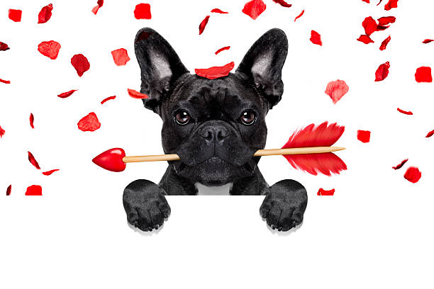 valentines dog french bulldog dog crazy and silly in love   on valentines day , rose petals flying and falling as background, isolated on white ,arrow  in mouth, behind banner or placard animal valentine stock pictures, royalty-free photos & images