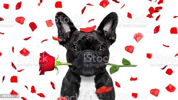 Valentines dog picture id637619658?b=1&k=6&m=637619658&s=612x612&h=q9wuis5pk wvuhqzpdtk xlbam2fkmzlpejngbkqcuw=
