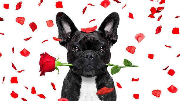 Valentines dog picture id637619658?b=1&k=6&m=637619658&s=612x612&w=0&h=ej09 eitiqwjfg py0avwuuyy q gtmh3csmbuyj08s=