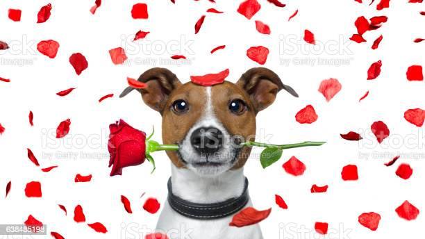 Valentines dog picture id638485198?b=1&k=6&m=638485198&s=612x612&h=njsnuojct 6qvgtjapgidkgccsqamuarcyzh2zsozkm=