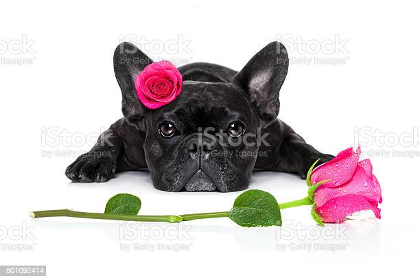 Valentines love sick dog picture id501092414?b=1&k=6&m=501092414&s=612x612&h=fkjxkrvtcnpuwg2b8wdw5o klm5mlw1hvz7w3uepve4=