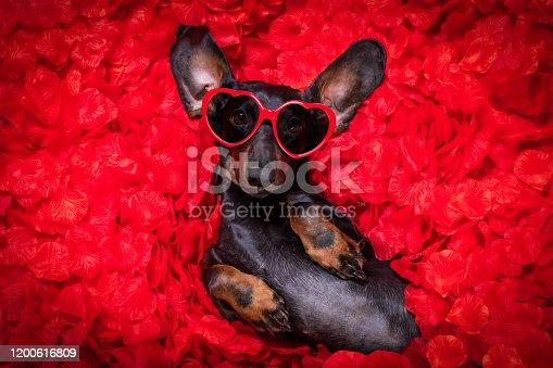 637619608 istock photo valentines wedding dog in love 1200616809