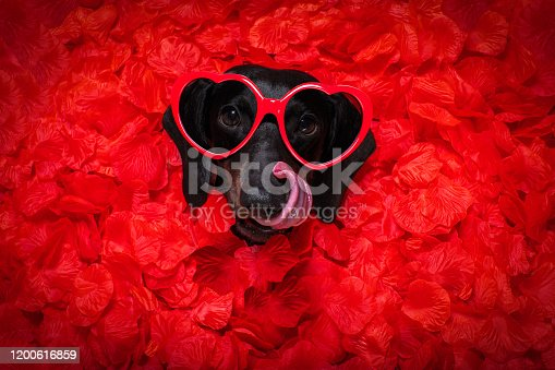 637619608 istock photo valentines wedding dog in love 1200616859