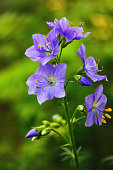 istock Valerian greek. The Latin name is Polemonium Coeruleum. A plant with a calming and analgesic effect. 1249871234